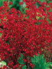 Heuchera - Red Splendens Coral Bells