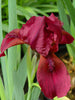 Iris - Dwarf Red Bearded Iris