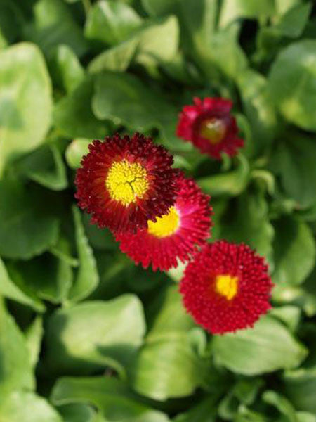 Bellis - Red English Daisy