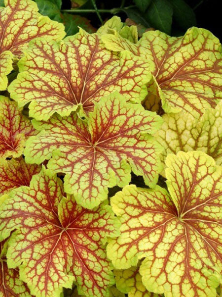 Heuchera - Red Lightning Coral Bells