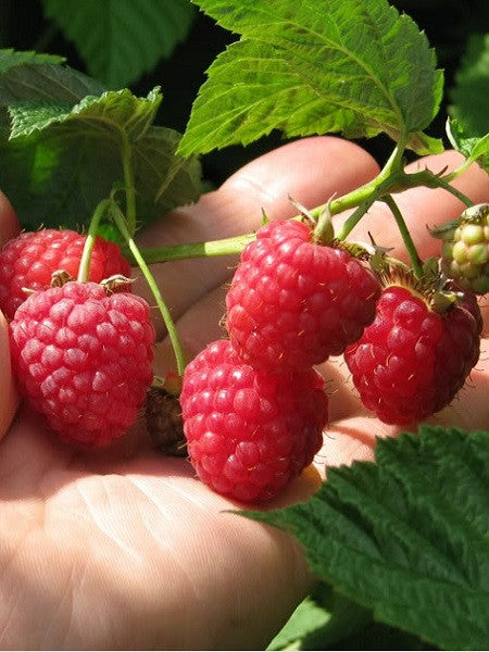 Rubus - Red Mammoth Raspberry