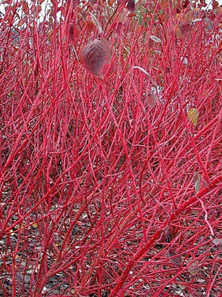 Cornus - Red Osier Dogwood