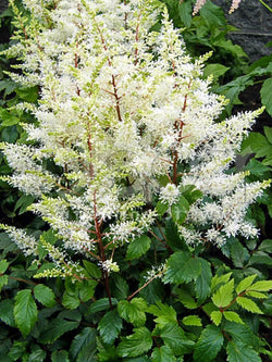 Astilbe - Rock & Roll