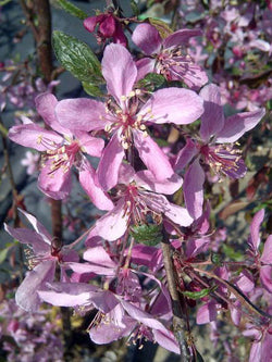 Malus - Rosy Glow Weeping Crab 5 Gallon