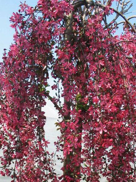 malus royal beauty weeping crab 7 gallon calgary plants online garden centre. Black Bedroom Furniture Sets. Home Design Ideas