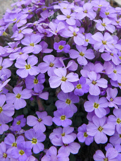 Aubrieta - Royal Blue Rock Cress