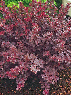 Barberry - Royal Burgundy