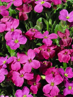 Aubrieta - Royal Red Rock Cress