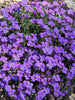 Aubrieta - Royal Violet Rock Cress