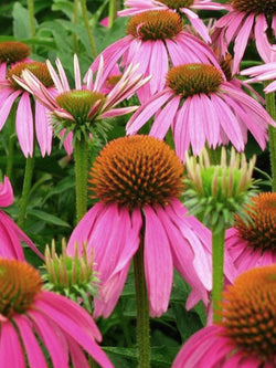 Echinacea - Ruby Star Coneflower