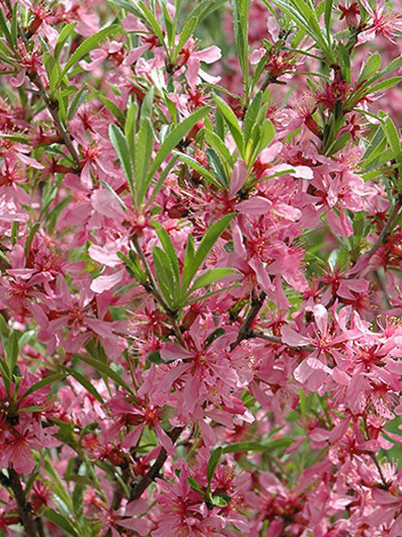 Prunus - Russian Almond 2 Gallon