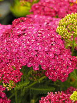 Achillea - Saucy Seduction Yarrow