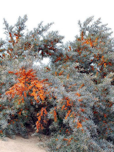 Hippophae - Sea Buckthorn
