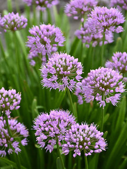 Allium - Summer Beauty Ornamental Chives