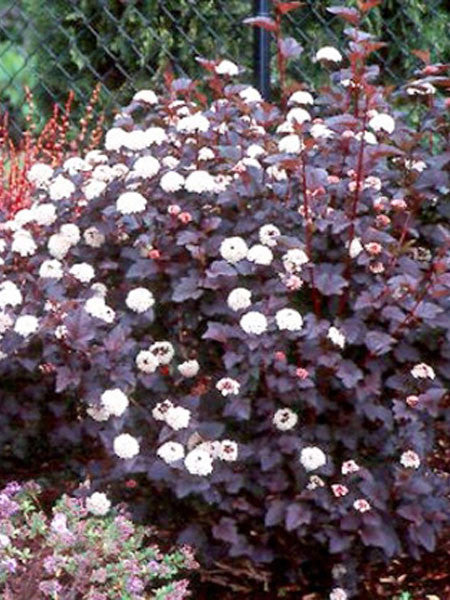 Physocarpus - Summer Wine Ninebark 2 Gallon