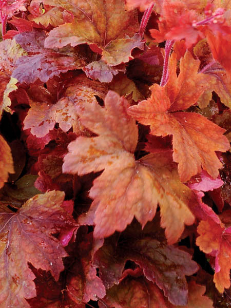 Heucherella - Sweet Tea Foamy Bells