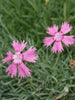 Dianthus - Sweetness Cottage Pinks