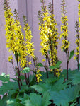 Ligularia - The Rocket