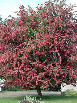 Crataegus - Toba Hawthorn 5 Gallon 4-6 Feet