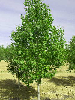 Populus - Trembling / Quaking Aspen