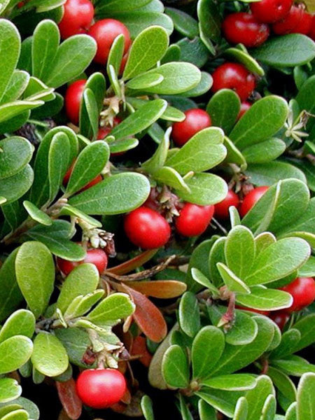 Arctostaphylos - Vancouver Jade Bearberry