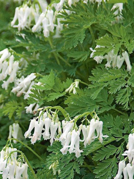 Dicentra - White Fernleaf Bleeding Heart