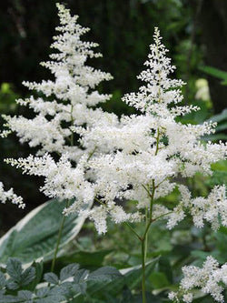 Astilbe - White Garden False Spirea