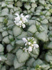Lamium - White Nancy Lamium