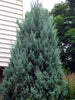 Juniperus - Wichita Upright Juniper