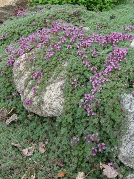 Thymus - Wooly Thyme