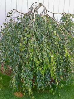 Betula - Young's Weeping Birch