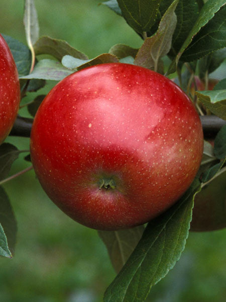 Malus - Zestar Apple