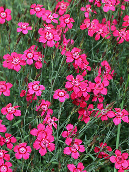 Dianthus - Zing Rose Maiden Pinks