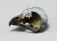 Burrowing Owl Skull