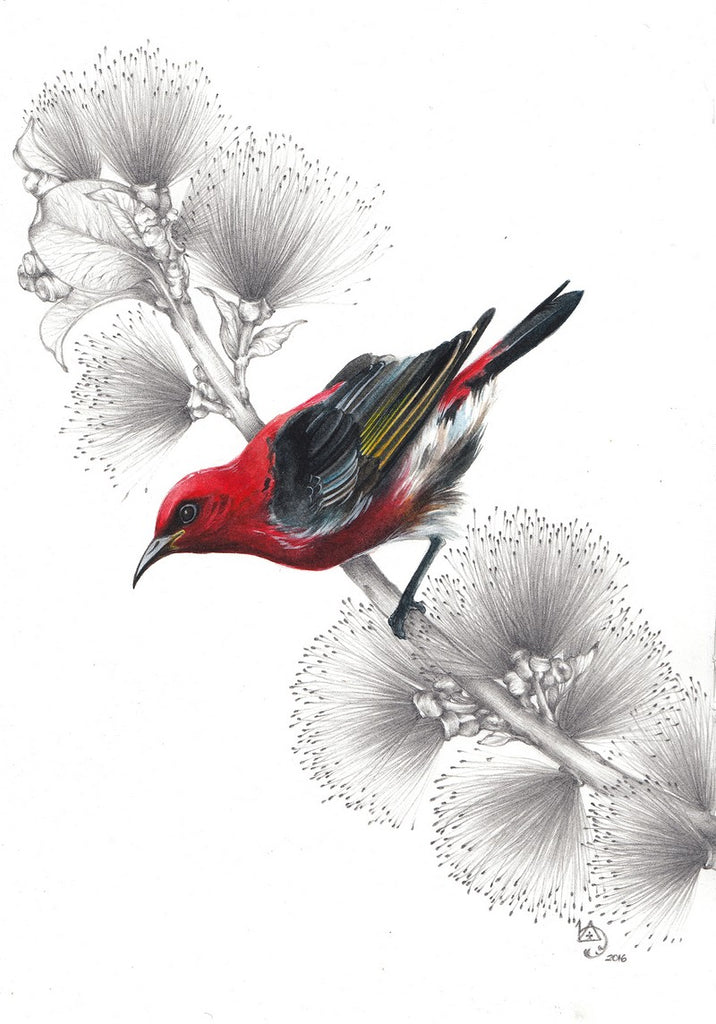 Scarlet Honey Eater by Lamice Ali