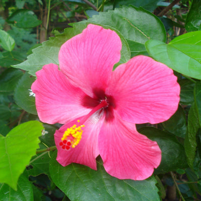 Pink Hibiscus flower, colour inspiration
