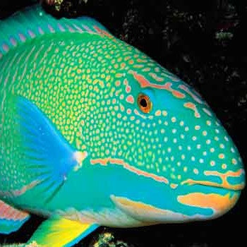 Parrot Fish Turquoise