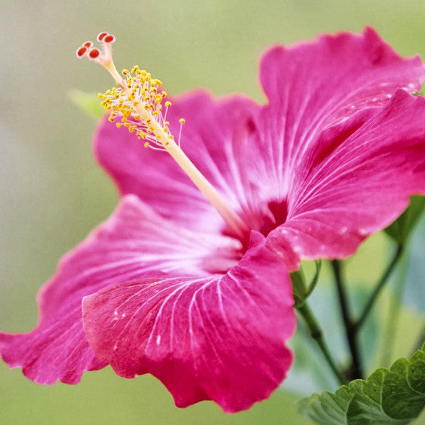 America's Cup HIBISCUS PINK