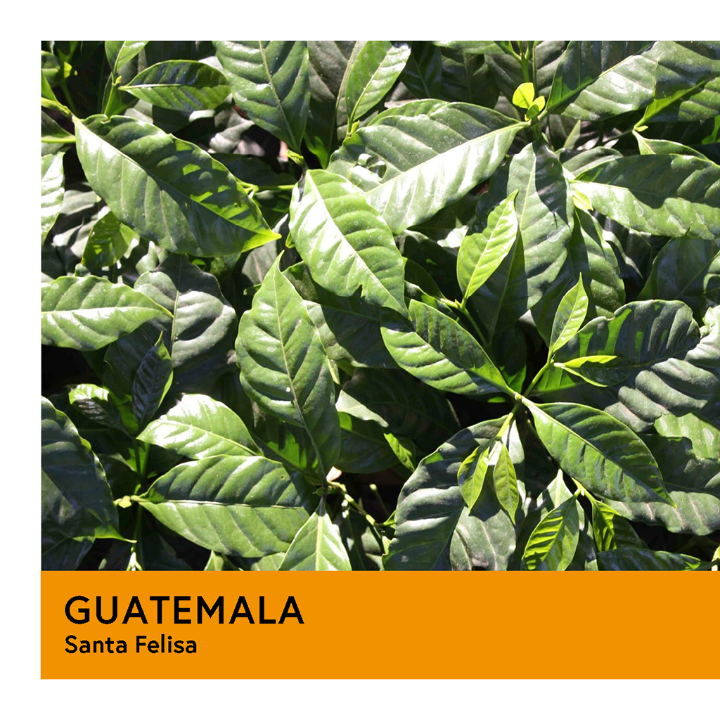 Guatemala | Santa Felisa | Yellow Catuai | Natural | Espresso | 250g - Proud Mary Coffee Melbourne