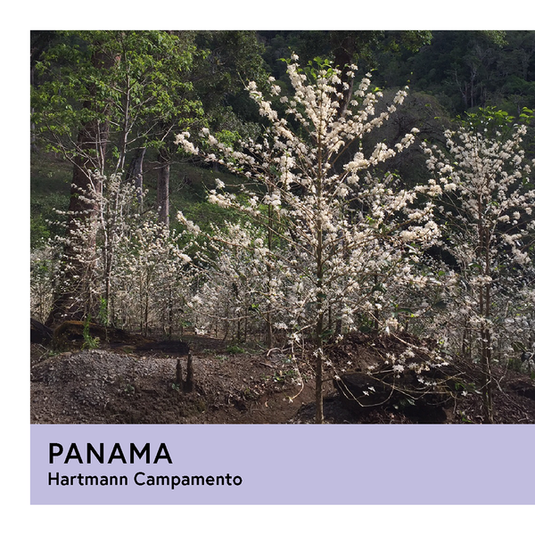 Panama | Hartmann Campamento | Geisha | Natural | Filter | 100g - Proud Mary Coffee Melbourne