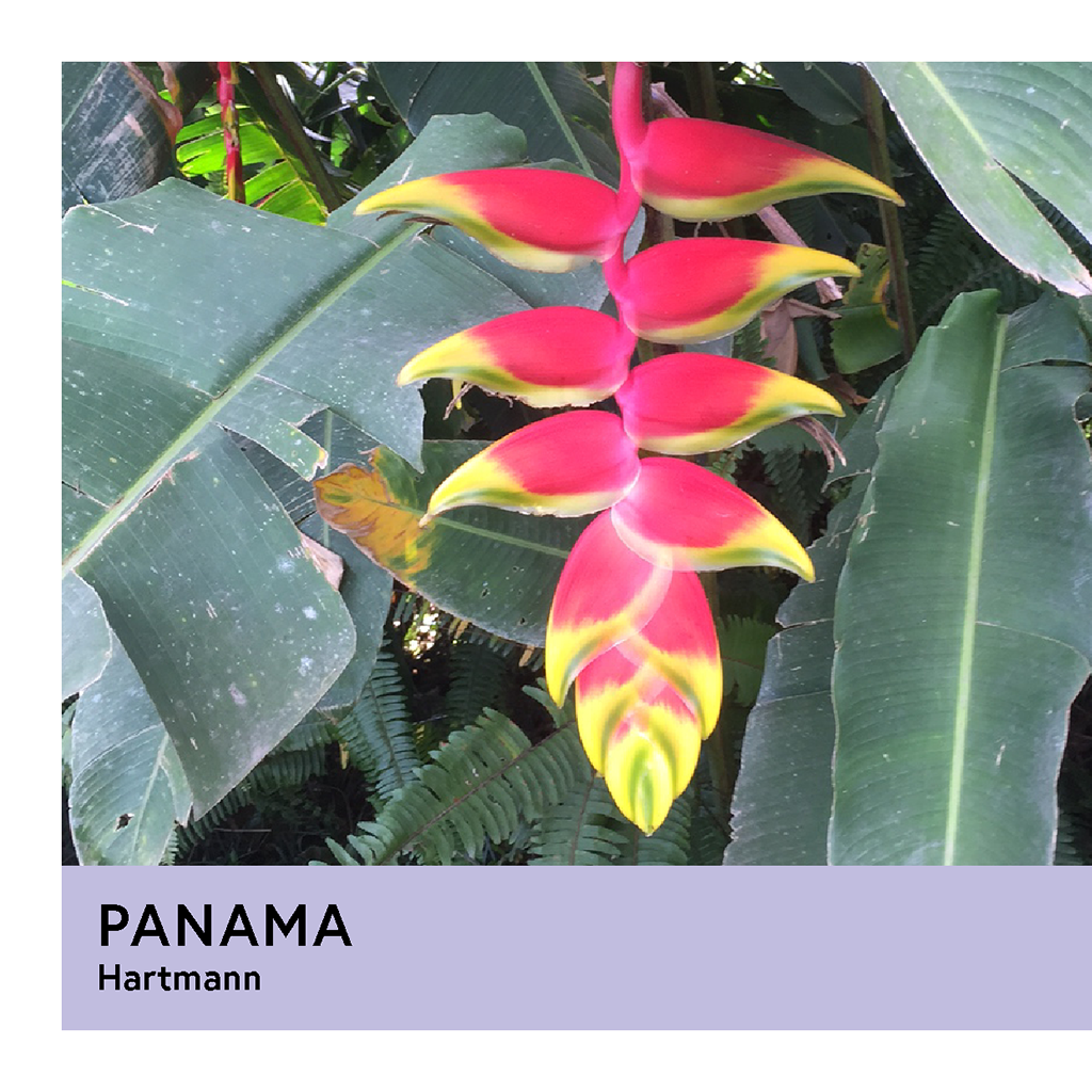 Panama | Hartmann | Pacamara | Natural | Filter | 200g - Proud Mary Coffee Melbourne