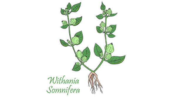 ashwagandha offers many health benefits