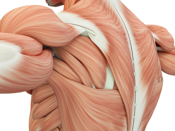 arm and back muscle anatomy; dysfunction of the mitochondria, the cell's power-generating structures, drive accelerated muscle deterioration