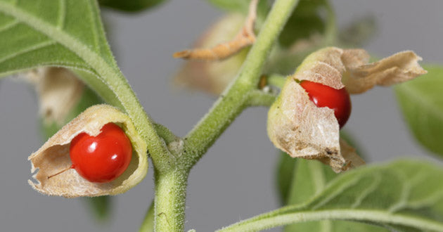 Ashwagandha lowers cortisol, the hormone secreted during times of stress.