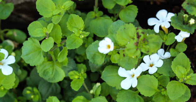 Bacopa monnieri was used for centuries by Vedic scholars to help memorize lengthy scriptures.