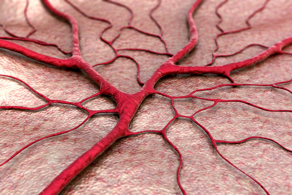 Within our vascular system, a single layer of cells called the endothelium lines the inside of our arteries, veins, and capillaries — the smallest and most abundant blood vessels we have, responsible for exchanging oxygen and nutrients between the blood and tissue.