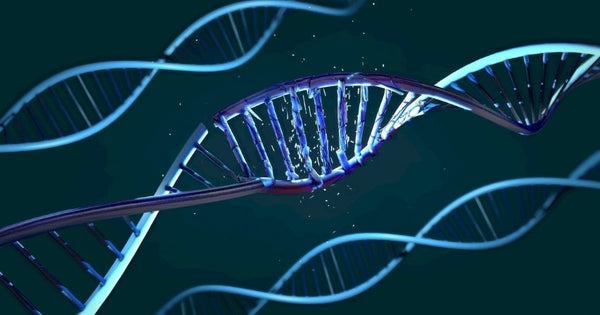 The DNA that makes up telomeres is highly sensitive to oxidative damage, which can induce telomere shortening and dysfunction.