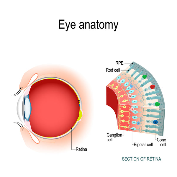 eye anatomy; retinal ganglion cells are necessary for sight, as they line the inner surface of the retina to process light into visual information as it enters the eye.