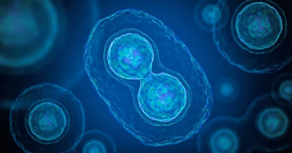 NMN significantly mitigated these age-related oocyte dysfunctions, leading to increased egg quality and function.