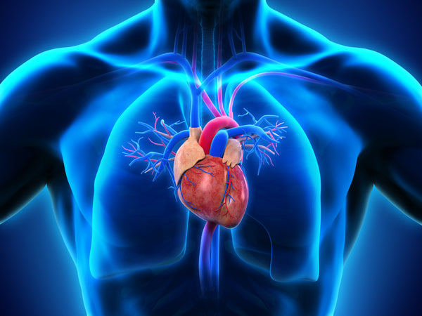 Resveratrol has been shown to reduce cardiac and muscular fibrosis, increase the expression levels of proteins critical to muscle function, and inhibit cardiac hypertrophy.
